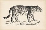 Brodtmann Male Leopard