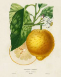 French Lemon Botanical I