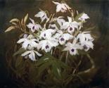 Dinrobium Orchids