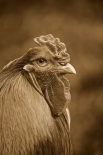 Domestic Chicken, Partridge Brahma, cockerel, close-up of head