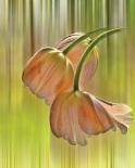 Tulip Free Fall