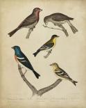 Bonapart Birds I