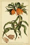 Corona Imperalis Pl. CV