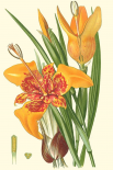 Striking Lilies I