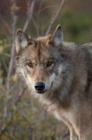Gray Wolf portrait, Alaska