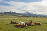Resting Horses, San Simeon