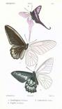 Butterflies, Plate 17