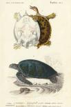 Antique Turtle Duo I