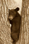 Asiatic Black Bear four month old cub, resting in tree, Sichuan, China