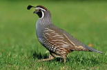 California Quail male, Christchurch, New Zealand