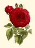 Magnificent Rose I