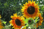 Summer Sunflowers I