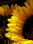 Sunlit Sunflowers I