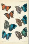 Butterflies, Paphia