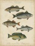Non-Embellished Ichthyology III