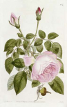 Illustration From The Botanical Register
