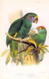 Parrots, Chrysotis