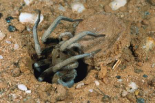 Forrests Wolf Spider emerging from its burrow near Mt Dimer, Western Australia