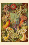 Haeckel Nature Illustrations: Actiniae