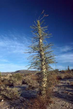 Boojum Tree with leaves, Baja California, Mexico