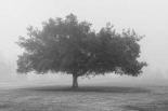Trees in Fog BW