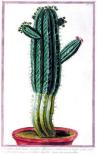 Cactus, Tithymalus