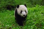 Giant Panda standing in vegetation, Wolong Nature Reserve, China