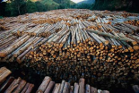 Gum Tree lumber, the worlds biggest source of Eucalyptus pulp for paper, Atlantic forest, Brazil