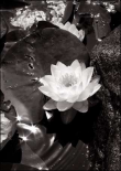 Water Lily Single