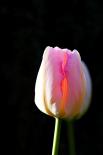 Tulip A-glow