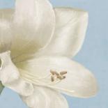 White amaryllis I