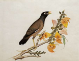 A Minah Bird Perched on a Flowering Branch