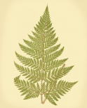 Lowes Fern I