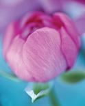 Rose en beaute