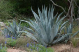 Agave and Bluebonnets at the Lady Bird Johnson Wildflower Center, near Austin, TX