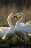Mute Swan pair courting, Europe