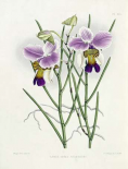 The Orchid Album Plate 475