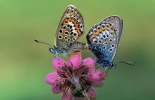 Silver-studded Blue butterfly pair mating on flower, Europe