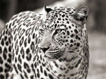 Portrait of leopard - South Africa