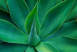 Fox Tail Agave leaves close up-succulent-native to the mountains of central Mexico