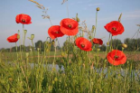 Red Poppy flowering on a dike, Utrecht, Netherlands