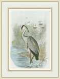 Common Heron