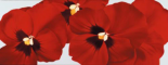 Red I (pansies)