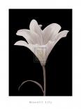 Moonlit Lily