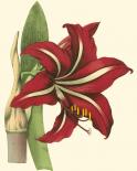 Amaryllis I