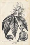 Vintage Buckeye Tree
