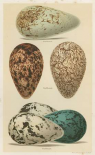 Antique Bird Egg Study I