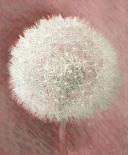 Dandelion Clock I
