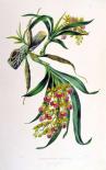 Orchid, Galeandra Baueri