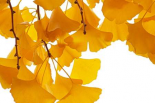 Ginkgo leaves in autumn, Netherlands